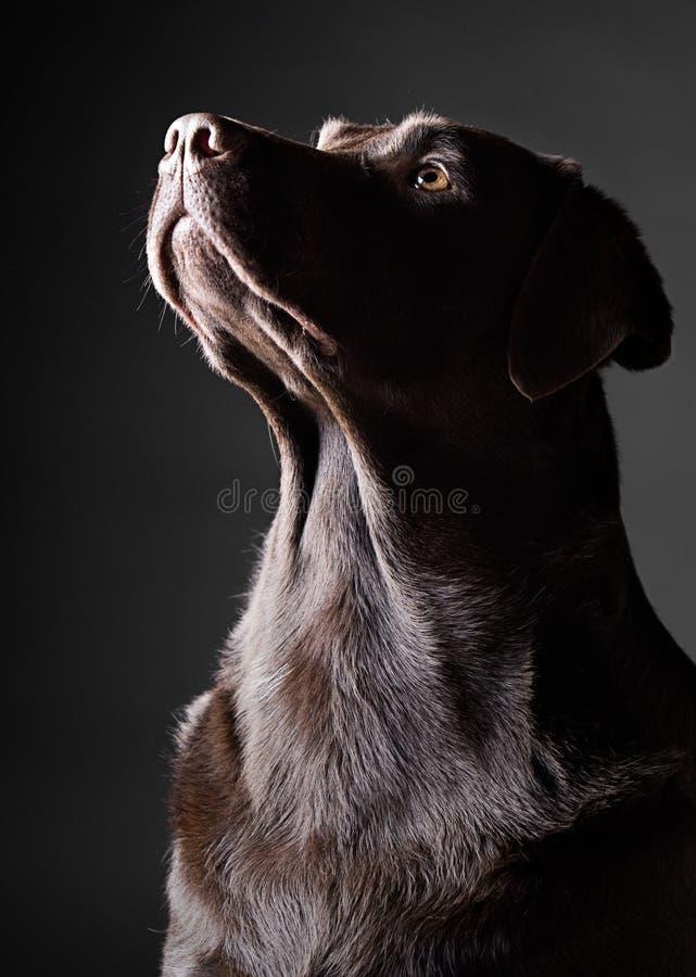 Auffallende Schokolade Labrador, das oben schaut lizenzfreie stockfotos