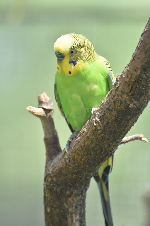 Auffallender grüner und gelber Budgie-Vogel in einem Baum stockfotos