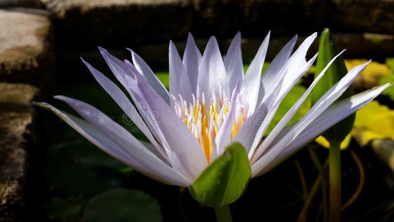 Auffallendes Lavendel-Wasser Lily Flower With Large Bud und Steinwand stockfotografie