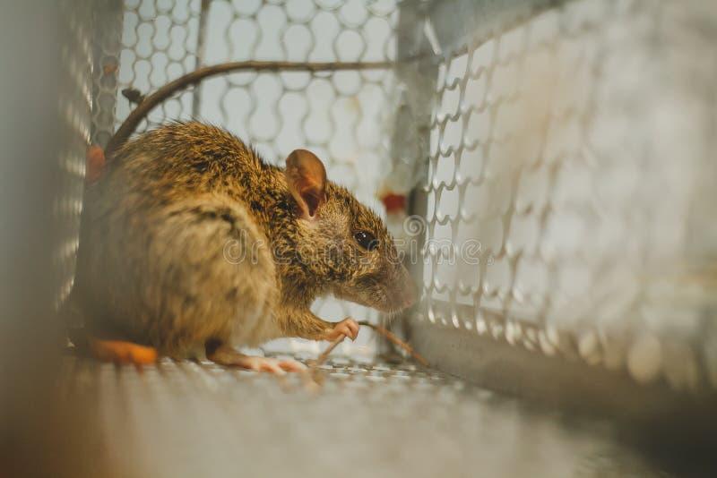 Aufgefangene Maus lizenzfreie stockbilder