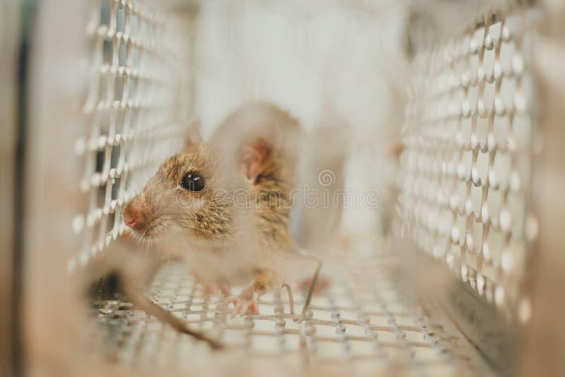 Aufgefangene Maus stockfotografie