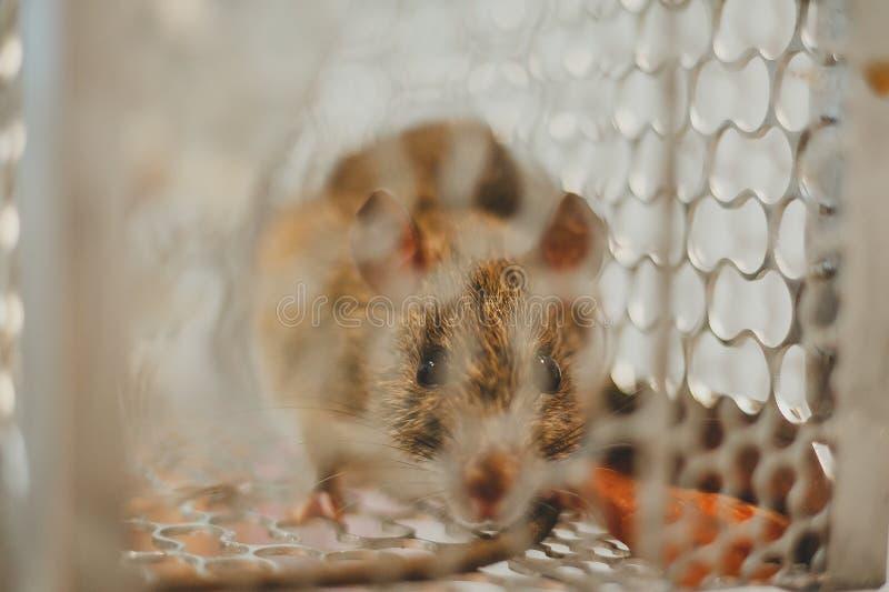 Aufgefangene Maus stockfoto