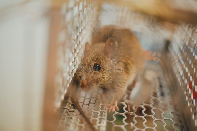 Aufgefangene Maus lizenzfreie stockfotos