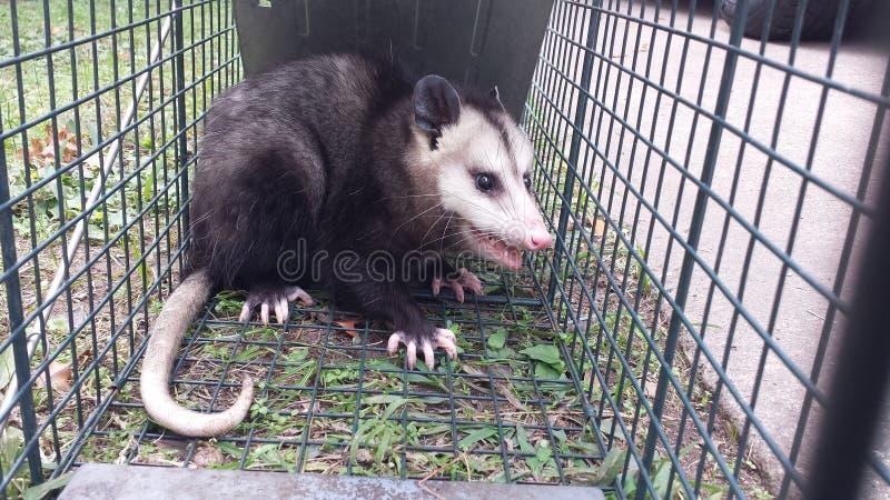 Aufgefangenes Opossum lizenzfreie stockbilder