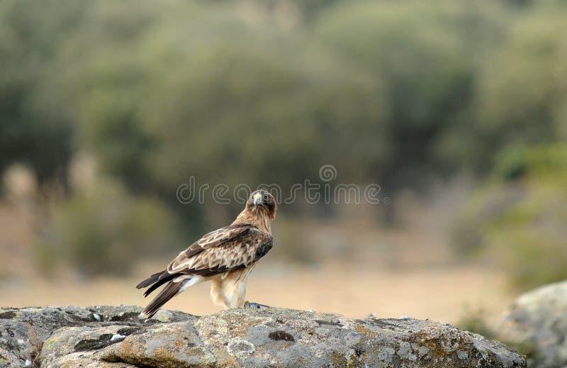 Aufgeladener Adler lizenzfreie stockfotos