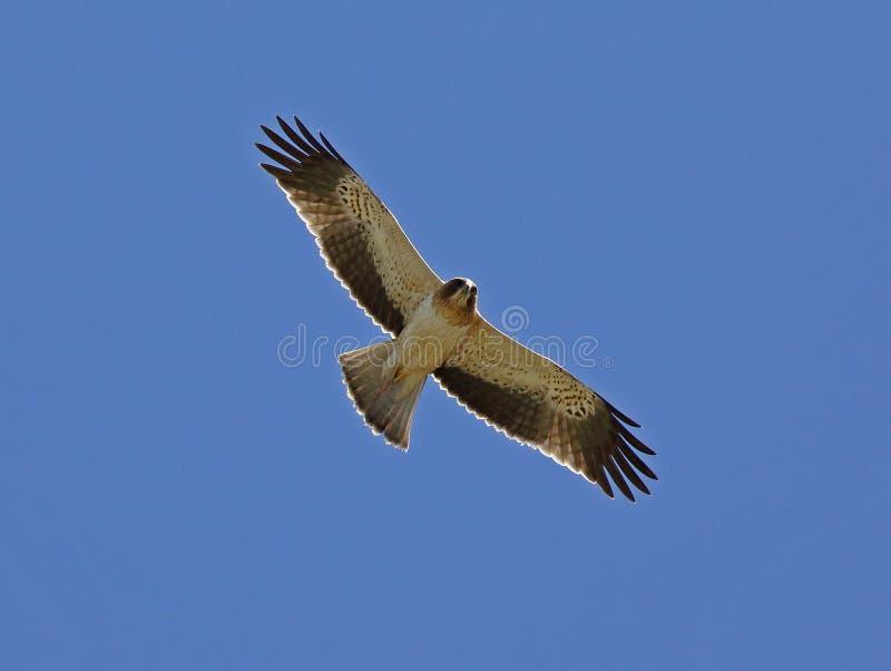 Aufgeladener Adler stockfotografie