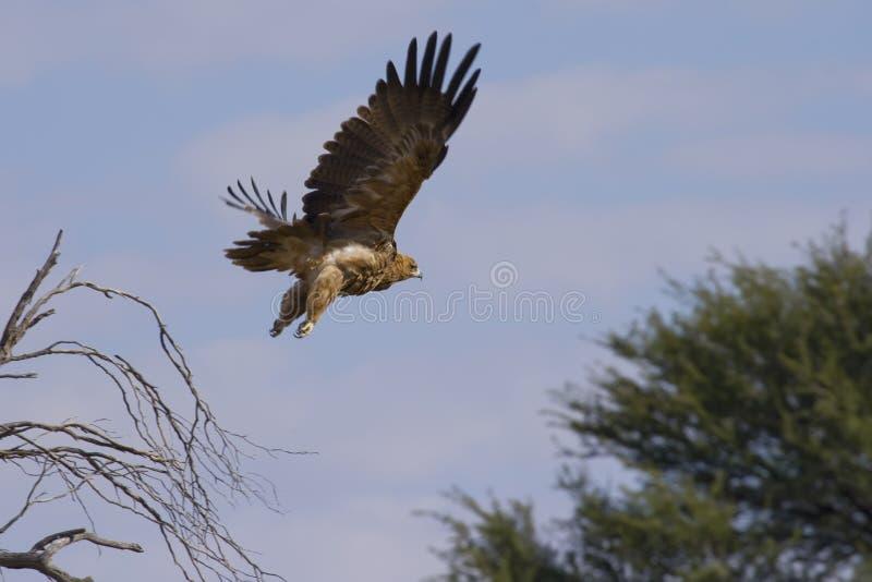 Aufgeladener Adler im Flug stockbilder