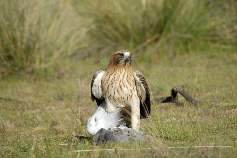Aufgeladener Adler mit einer Taube lizenzfreies stockbild