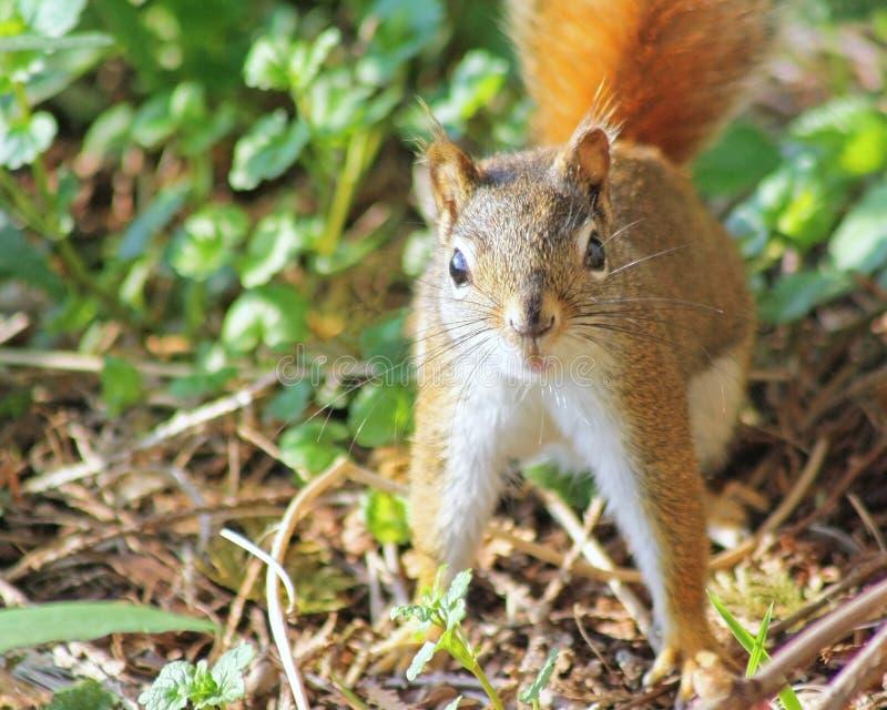 Aufgerütteltes Eichhörnchen, das Kamera betrachtet lizenzfreie stockbilder