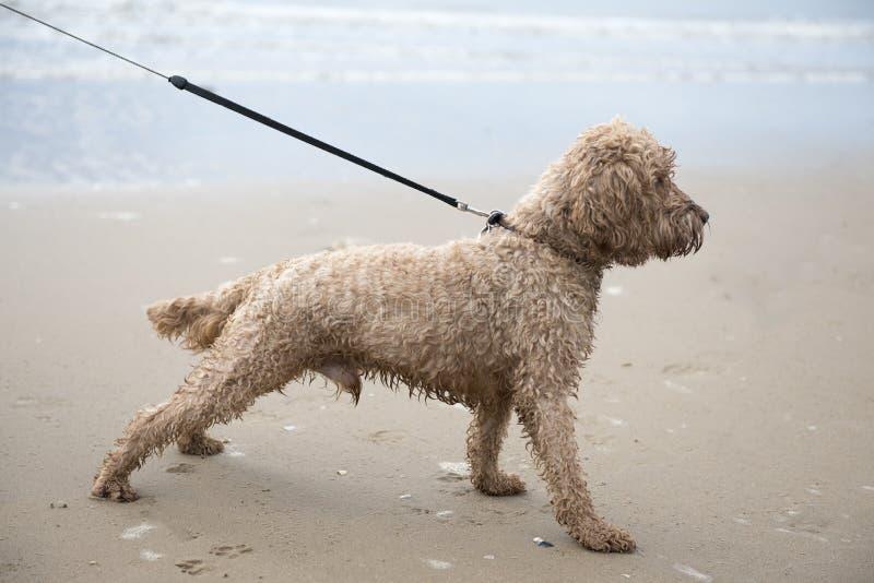 Aufgeregter junger cockapoo Hund auf einem sandigen Strand stockfotografie