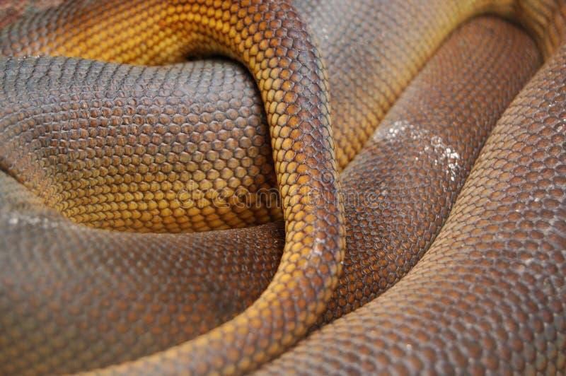 Aufgerollte Amethystpythonschlangen-Haut stuft Detail ein stockbild