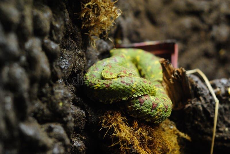 Aufgerollte grüne Schlange stockbild
