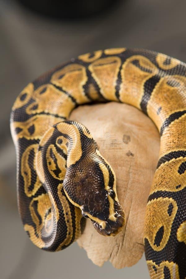 Aufgerollte Kugel-Pythonschlange auf Protokoll stockfotos