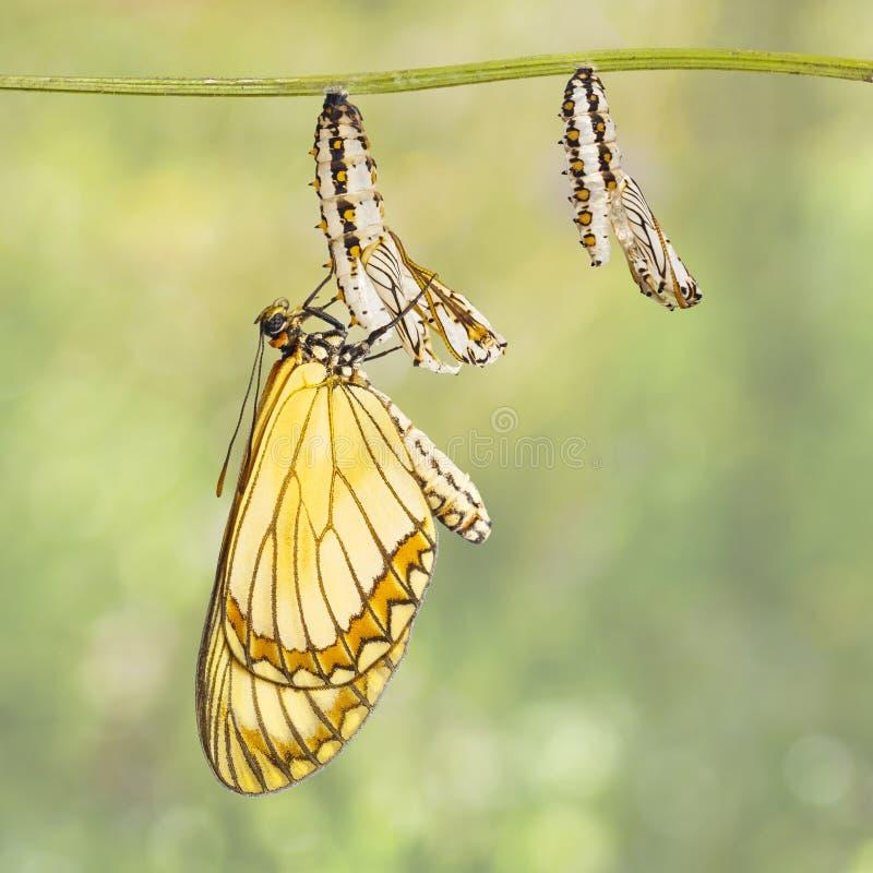 Aufgetauchtes gelbes coster Schmetterling Acraea-issoria und reifer ch lizenzfreie stockfotos