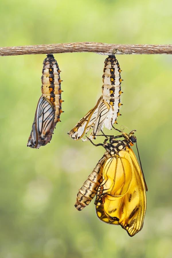 Aufgetauchtes gelbes coster Schmetterling Acraea-issoria und reifer ch stockbilder