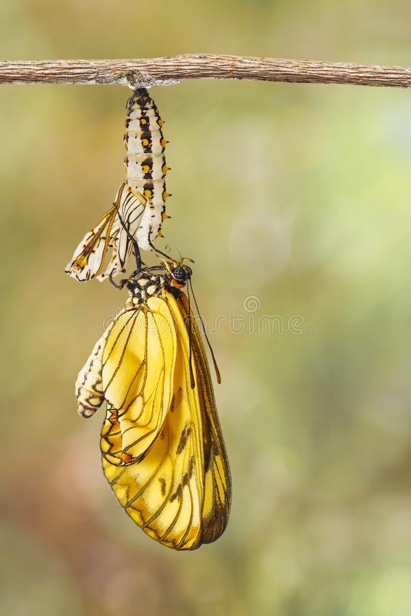 Aufgetauchtes gelbes coster Schmetterling Acraea-issoria und reifer ch lizenzfreie stockbilder