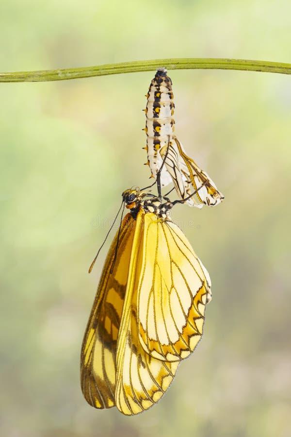 Aufgetauchtes gelbes coster Schmetterling Acraea-issoria und reifer ch stockfoto