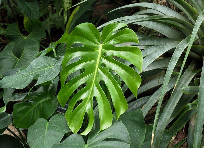 Aufgeteilter Blatt Philodendron oder Monstera Deliciosa lizenzfreies stockbild