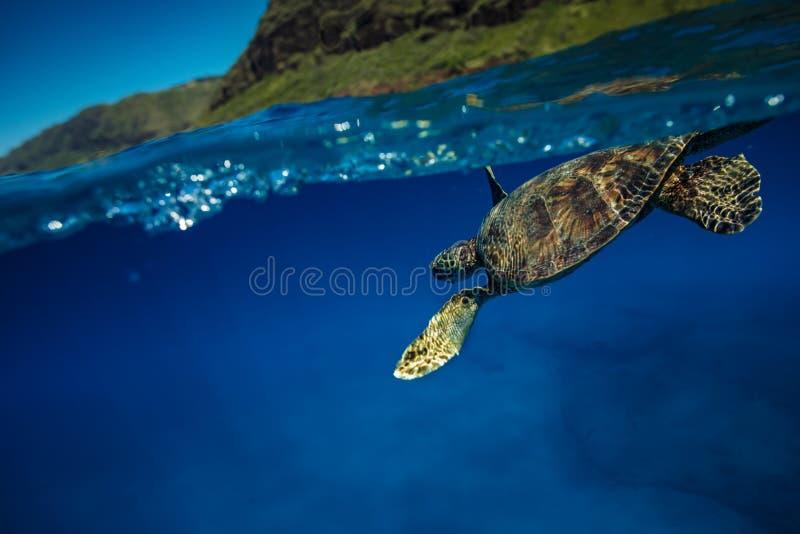 Aufgeteilter Schuss hawaiischen Suppenschildkröte Underwater stockfotos