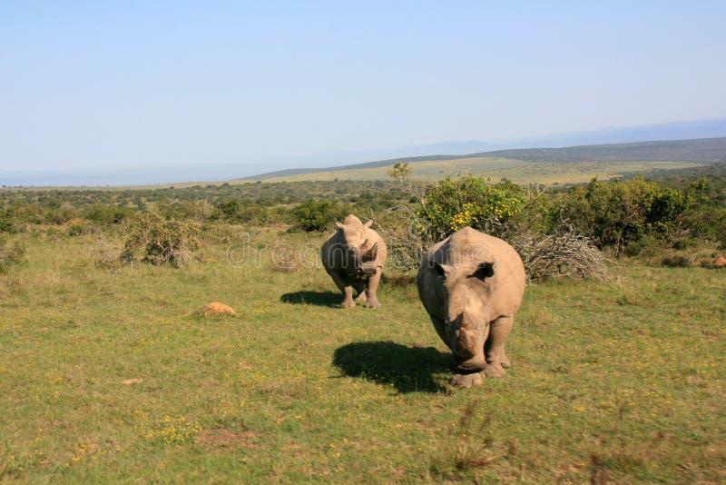 Aufladendes männliches weißes Nashorn mit weiblichem Nashorn im Hintergrund stockbild