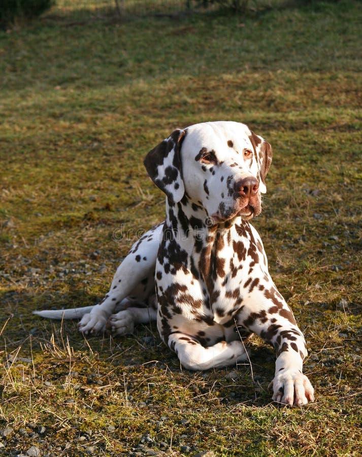 Aufmerksamer liegender männlicher Dalmatiner stockbilder