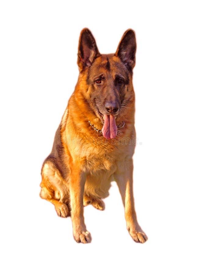 Aufmerksamer Schäferhund stockfotografie
