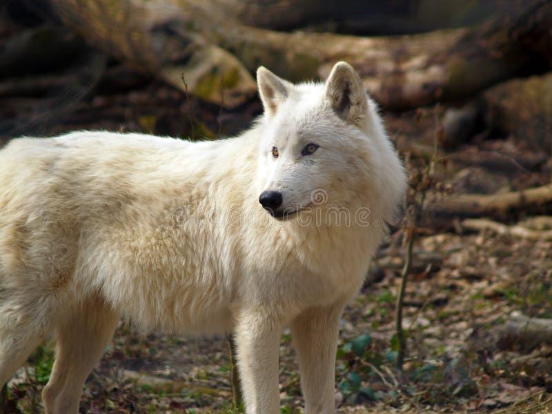 Aufmerksamer Wolf stockbilder