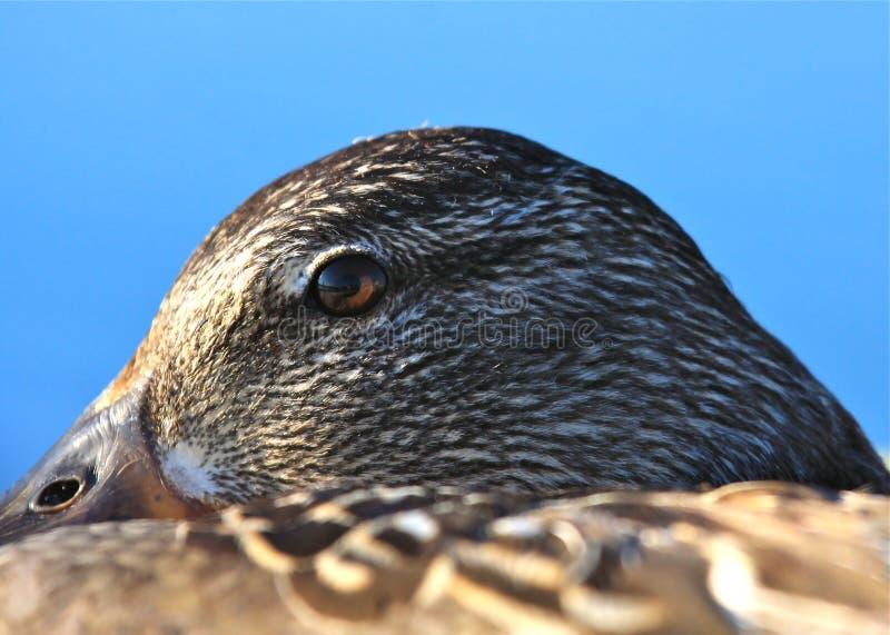 Aufmerksames Ente-Auge