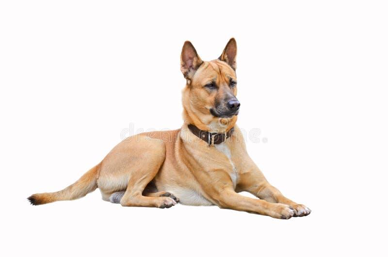 Aufpassender intelligenter brauner thailändischer Hund lizenzfreie stockfotos