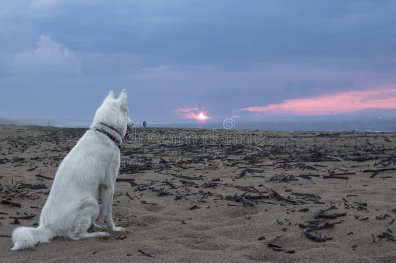 Aufpassender Sonnenuntergang des weißen sibirischen Huskys über dem Meer lizenzfreie stockbilder