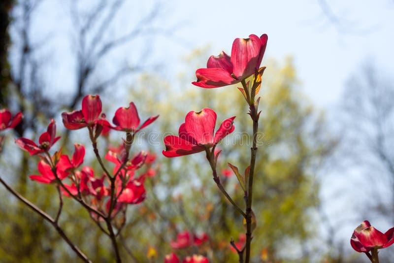 Aufrechte, dunkle rosa Hartriegel-Blüten lizenzfreie stockfotos