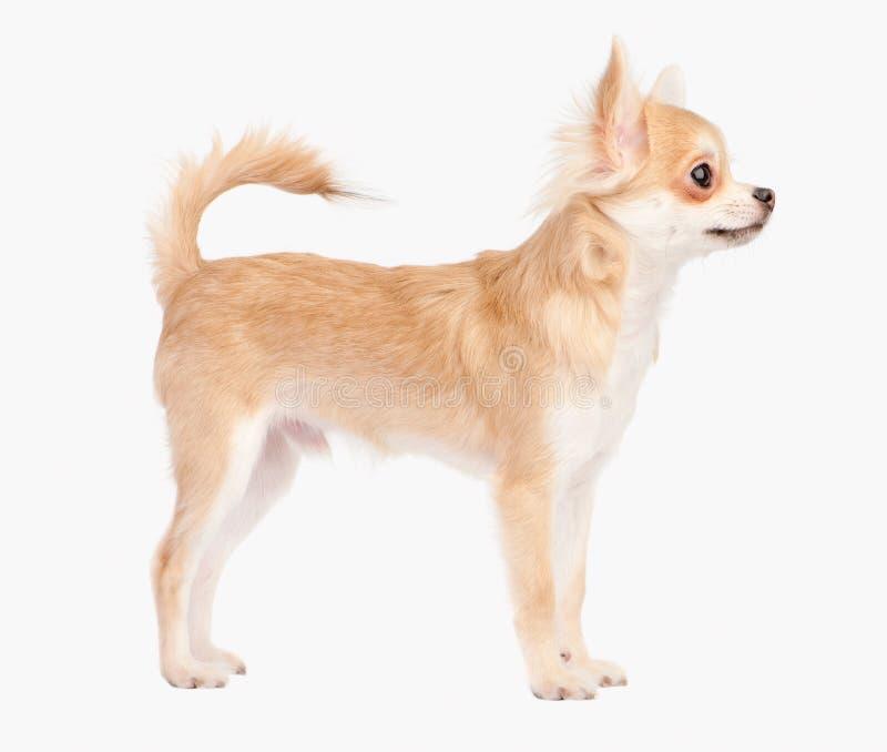 Aufstellung des jungen Chihuahuahundes stockbilder
