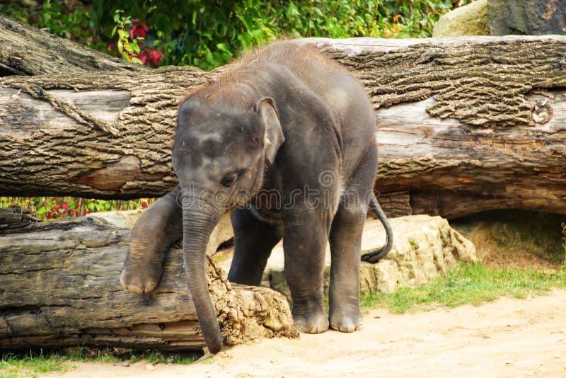Aufstellung des jungen Elefanten mit einem großen Stamm lizenzfreie stockfotografie