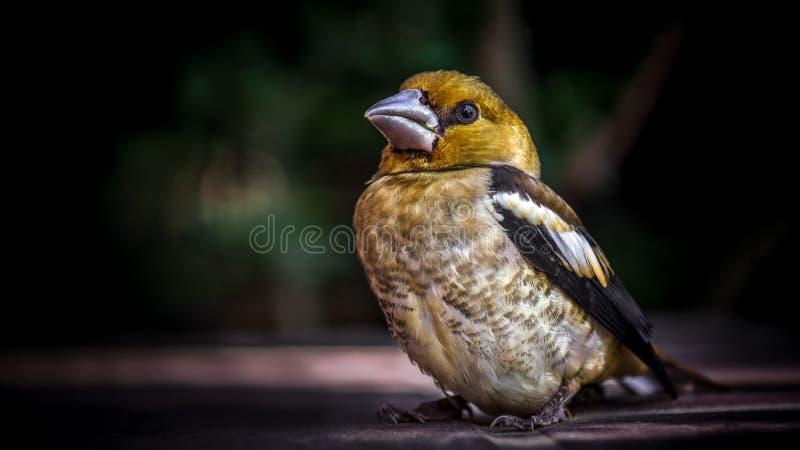 Aufstellung des Singvogelporträts stockbilder