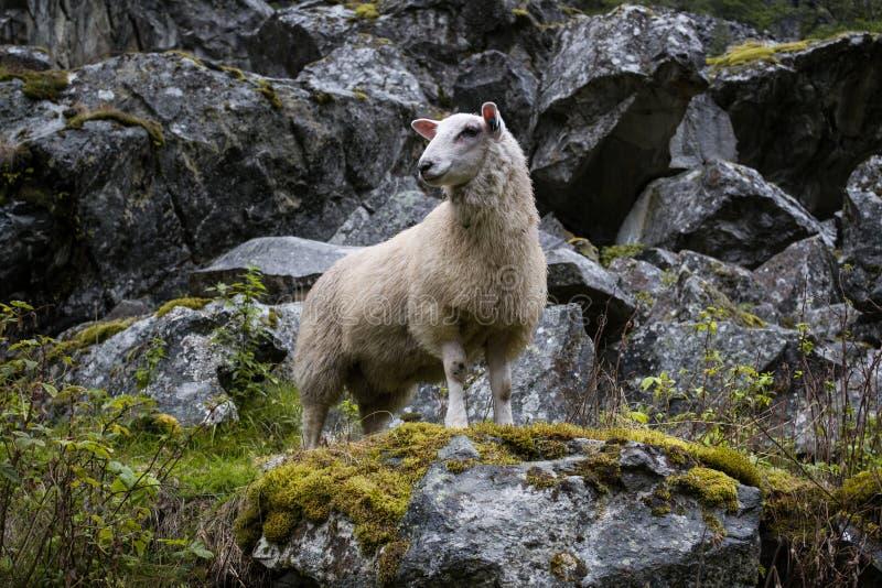 Aufstellung von Schafen stockfoto