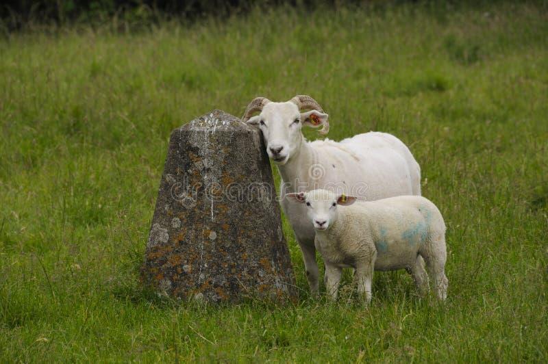 Aufstellung von Schafen lizenzfreies stockfoto