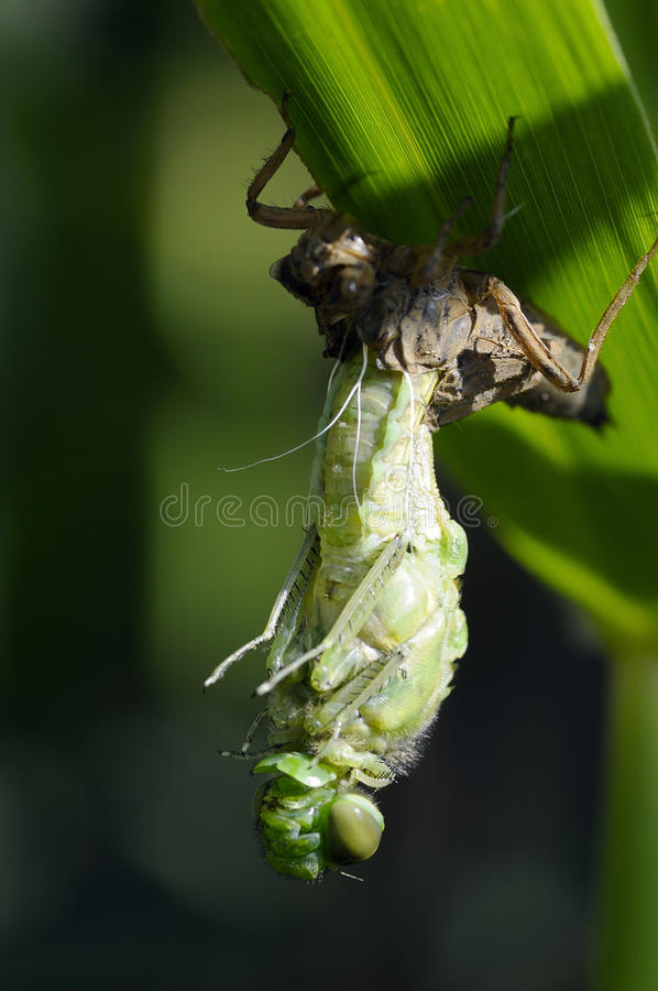 Auftauchende Libelle lizenzfreie stockbilder