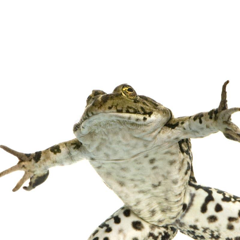 Auftauchender Frosch stockfotografie