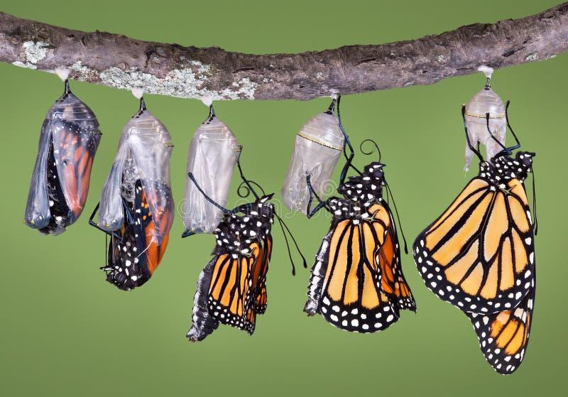 Auftauchender Monarch