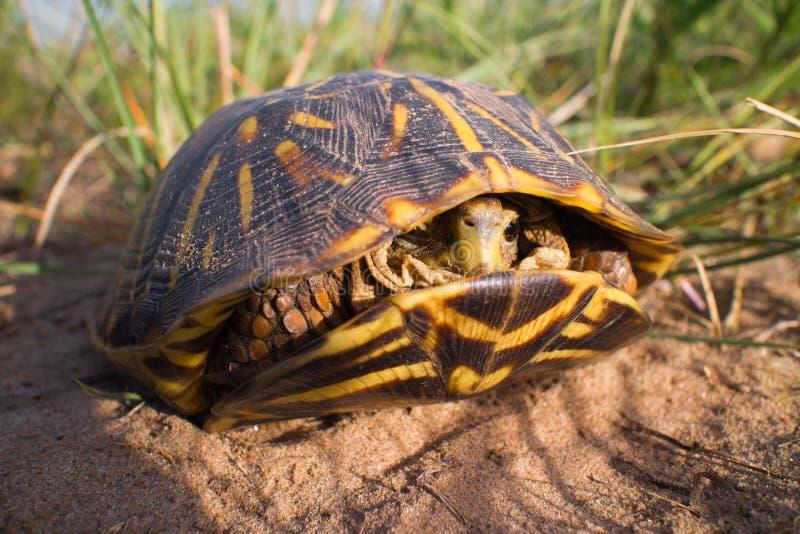 Aufwändige Dosenschildkröte innerhalb seines Shells stockbild