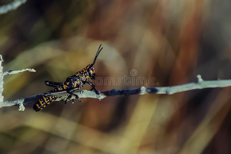 Aufwändige schwarze und Orange beschmutzte Heuschrecke stockfotos