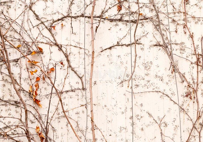 Aufwändiges Gelb der wilden Trauben verlässt auf einem rustikalen Muster der Weißhintergrundwand-Beeren lizenzfreie stockbilder