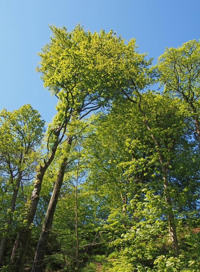 aufwärts Ansicht von hohen sonnenbeschienen Bäumen des Waldes mit hellgrünem Frühlingslaub gegen einen blauen Himmel lizenzfreies stockbild