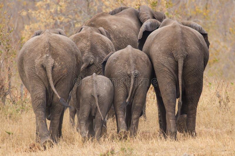 Aufzuchtherde des Elefanten weg gehend int die Bäume