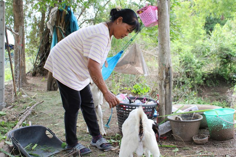 24 Aug 2019, Chainat, Thailand. Female farmer is feeding milk their baby goat. Agriculture, farming, woman, women, countryside, rural stock images