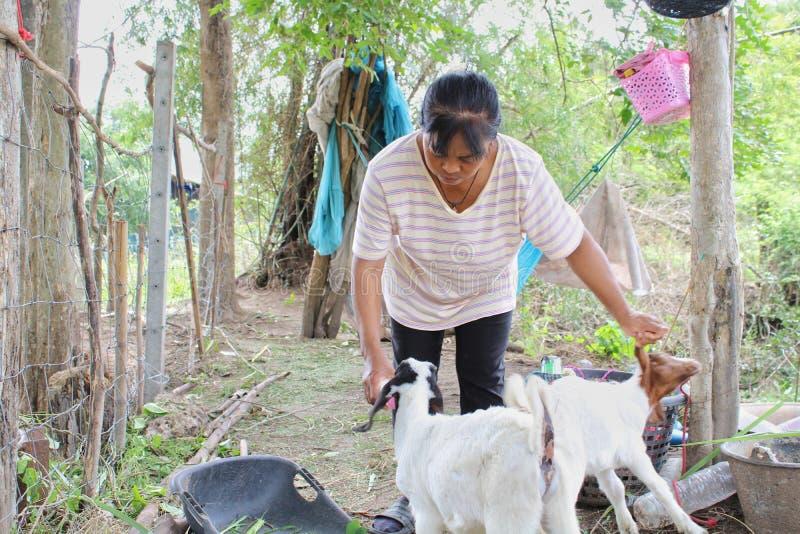 24 Aug 2019, Chainat, Thailand. Female farmer is feeding milk their baby goat. Agriculture, farming, woman, women, countryside, rural royalty free stock photo