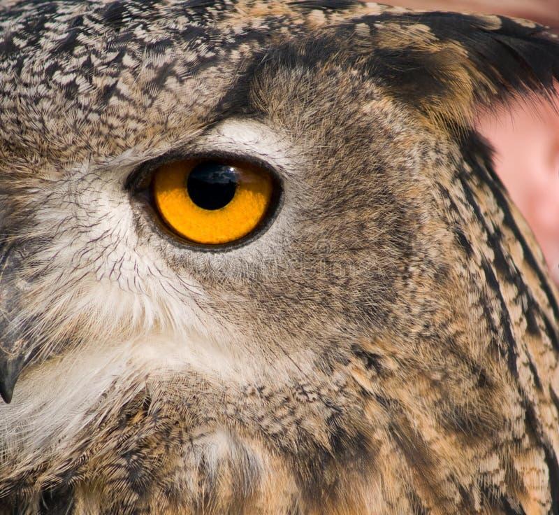 Auge der Adlereule stockfoto