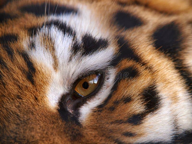 Auge des heftigen Tigers lizenzfreie stockbilder
