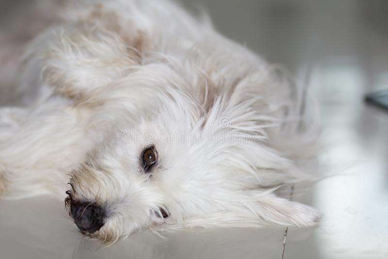 Auge des Pudelhundes ist schläfrig lizenzfreie stockbilder