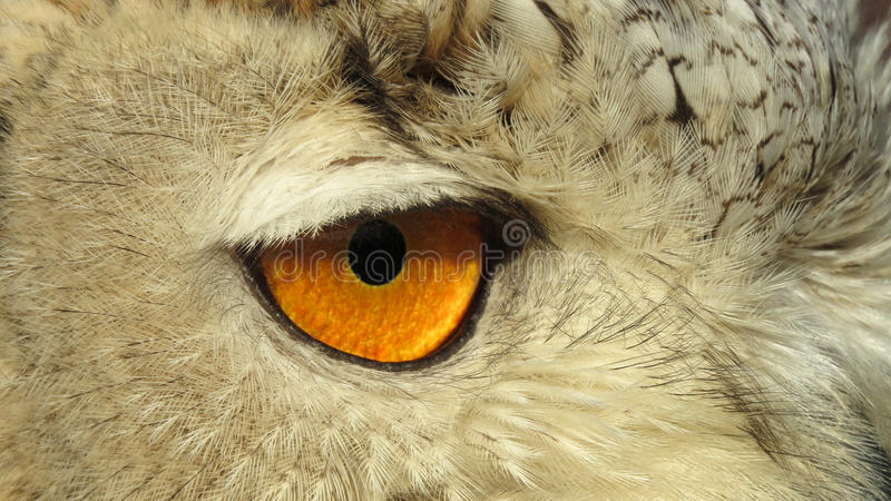 Auge des Sibiriers Eagle Owl stockbild